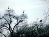 herons-in-trees