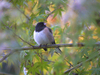 Junco in Maple